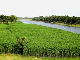 jute-crops